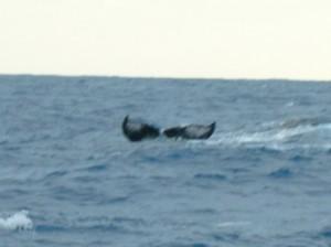 004-Caudale-de-baleine-a-bosse-300x224