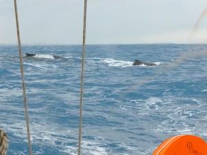 005-Ballet-de-baleines-a-bosse-300x225