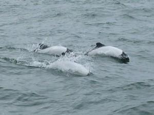 086b-superbes-dauphins-de-Commerson-300x225