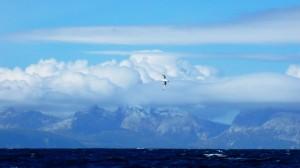 088-albatros-sur-fond-d-ile-des-etats1-300x168