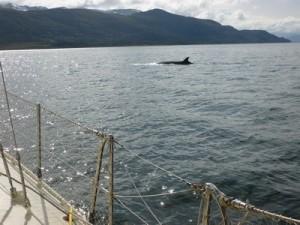 091-Ballet-de-baleines-de-Sei-ou-Rorquals-boreals-dans-le-Beagle-300x225