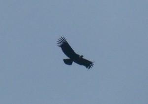 194-Condor-dans-Pia-Brazo-Oeste-300x211