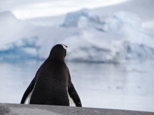 Manchot Papou en contemplation - Ne pas déranger - Portal Point - Péninsule Antarctique