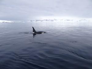 Orque mâle - Dallmann Bay, Antarctique