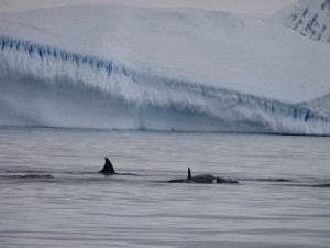 Famille d'orques - Dallmann Bay - Antarctique
