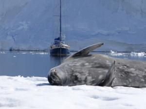 Portal Point et ses merveilles - ici, un phoque de Weddell - Péninsule Antarctique