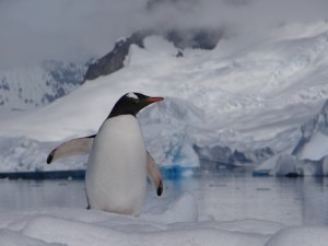 Manchot Papou, Portal Point, Péninsule Antarctique