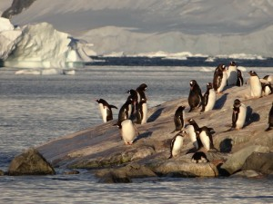 Papous à Waterboat Point - Péninsule Antarctique