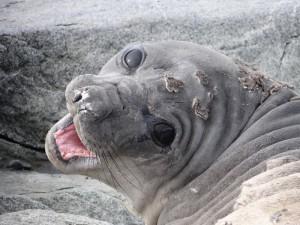 Qu'est ce qu'elle a ma gueule ? Eléphant de mer en pleine mue - Antarctique