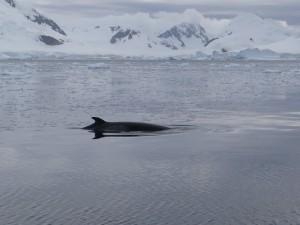 Baleine de Minke - Leith Cove, Paradise Bay