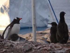 Manchots papous et cormorans antarctiques cohabitent - Port Charcot, Booth Island