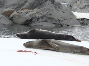 Après l'orgie ... Phoques léopard, Antarctique