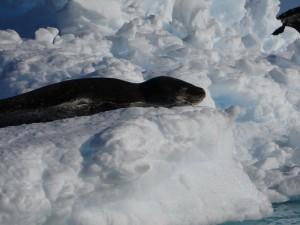 Le repos du guerrier - phoque léopard - Antarctique