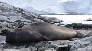 Eléphant de mer ... toujours en sieste - Pitt Islands