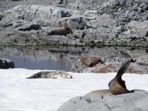 Une belle brochette : otarie, Weddell et éléphant alignés - Pitt Islands