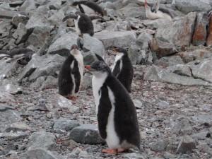 Poussins papous réunis en crèche - Vernadsky, Argentine Islands