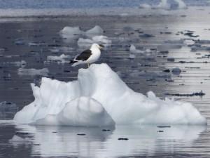 Goéland sur son glaçon - Antarctique