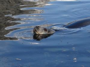 Phoque de Weddell - Hovgaard Island
