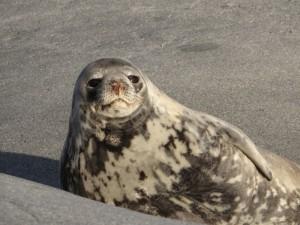 Un phoque de Weddell fait bronzette - Antarctique