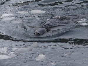Un léopard rôde ... Antarctique