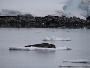 Notre premier phoque léopard - Archipel de Melchior, Antarctique