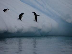 Un intrus arrive au prix d'un gros effort pour sauter sur son bout d'iceberg glissant ... - Melchior, Antarctique