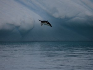Aussitôt renvoyé à l'eau par ses congénères d'une autre espèce - Melchior, Antarctique