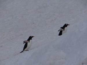Véhicules prioritaires - A la queue leu leu - Cuvervilles Island - Antarctique