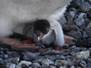 Notre premier poussin papou - Lockroy, Goudier Island, Antarctique