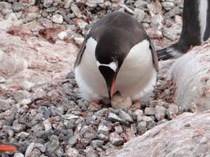 Un papou poule ... Antarctique