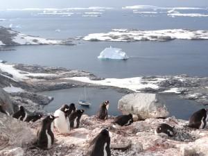 Hauts perchés ces manchots papous ! - Port Charcot - Booth Island - Antarctique