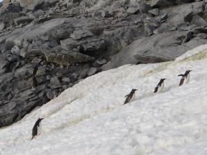 Convoi de papous - Port Charcot - Booth Island - Antarctique