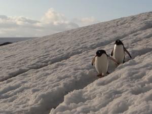 Laissez passer ! - Port Charcot - Booth Island - Antarctique