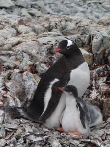 A un mois, ils ont déjà bien grandi ces poussins papous ! - Argentine Islands, Antarctique