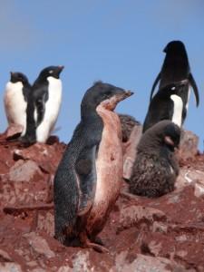 Manchot Adélie - Il a déjà perdu son duvet mais qu'il est sale ! - Pitt Islands, Antarctique