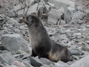 Une otarie à fourrure plutôt susceptible - Argentine Islands, Antarctique