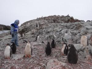 Les poussins papous en crèche - Argentine Islands, Antarctique