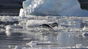 Manchots papous torpilles dans le cimetière d'icebregs - Hovgaard Island, Antarctique