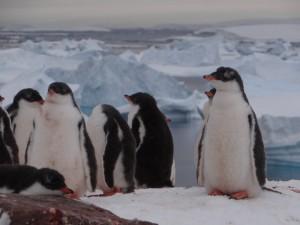 Nos derniers poussins papous en Antarctique, Pléneau Island