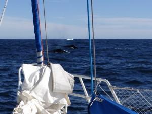 Couple de baleines à bosse venu nous escorter, le jour de notre départ ... - Antarctique